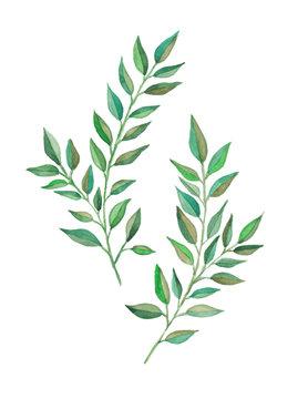 Laurel branches watercolor art