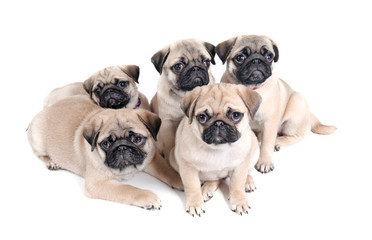 Cute pug puppies on white background