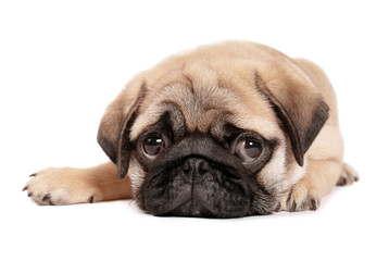 Cute pug puppy on white background