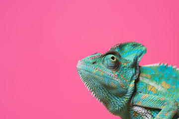 Ingelijste posters Kameleon Chameleon on pink background