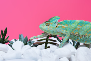 close-up view of cute colorful chameleon on stones with succulents isolated on pink