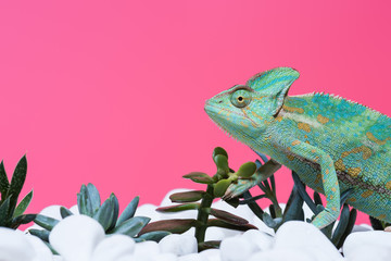 side view of cute colorful chameleon on stones with succulents isolated on pink Wall mural