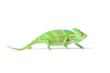 Photo sur Plexiglas Cameleon close-up view of colorful tropical chameleon isolated on white