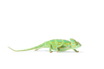 Photo sur Plexiglas Cameleon side view of colorful tropical chameleon crawling isolated on white