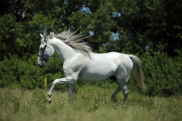 Andalusian horse white horse galloping on a meadow