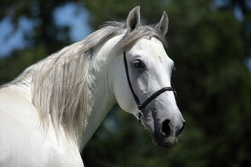 Andalusian horse, white horse, portrait, Spain, Europe