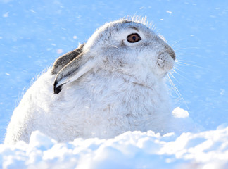 A mountain hare shelters from the snow on the top plateau of a mountain in the Cairngorms