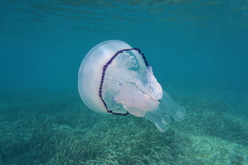 A barrel jellyfish Rhizostoma pulmo underwater in the Mediterranean sea, Cote d'Azur, France