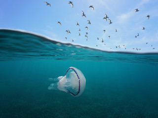 Mediterranean gulls flying in the sky with a barrel jellyfish underwater, split view above and below water surface, Spain, Costa Brava, Catalonia, Girona