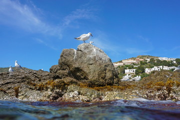 Mediterranean gull on a rocky seashore, seen from water surface, Spain, Costa Brava, Catalonia, Roses