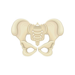 Structure of pelvic bones. Lower part of the trunk of the human body. Graphic design for medical poster or educational anatomy book. Detailed flat vector icon