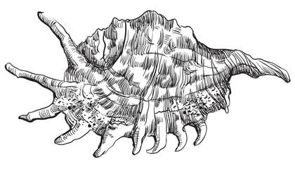 Hand drawing seashell-30