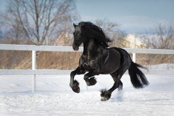 Black friesian horse with the mane flutters on wind running gallop on the snow-covered field in the winter