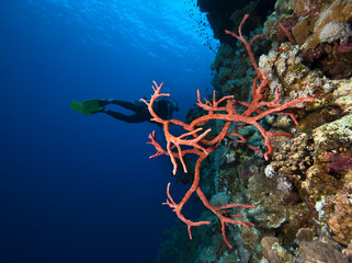 Scuba Diving on a colorful tropical Coral Reef