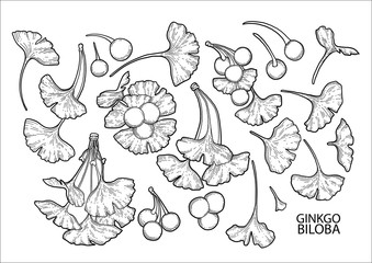 Graphic ginkgo biloba branches
