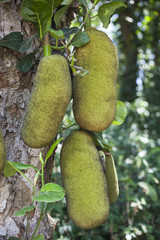 Jack fruit Tree with Jack fruits
