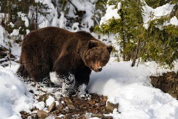 Wild brown bear in winter forest