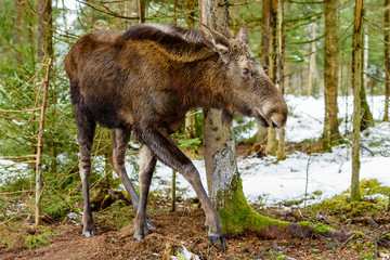 Moose (Alces alces) yearling walking the forest by itself, probably having just been chased of by the pregnant mother.