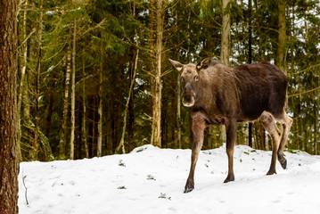 Moose (Alces alces) female walking on a wintry slope in the forest.