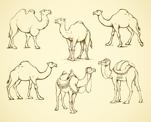 Decorated camel. Vector illustration