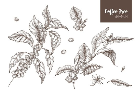Bundle of elegant botanical drawings of coffea or coffee tree branches with leaves, flowers and ripe fruits isolated on white background. Monochrome vector illustration hand drawn in etching style.