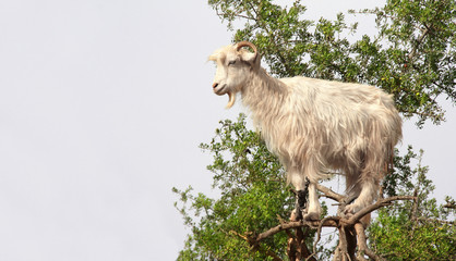 Goat on the argan tree, Morocco