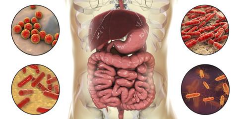 Intestinal microbiome, bacteria colonizing different parts of digestive system, Enterococcus, Lactobacillus, Bifidobacterium, Escherichia coli