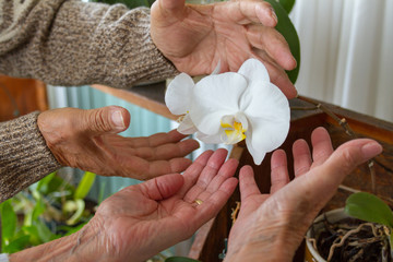 Old people couple hands closeup showing a white orchid