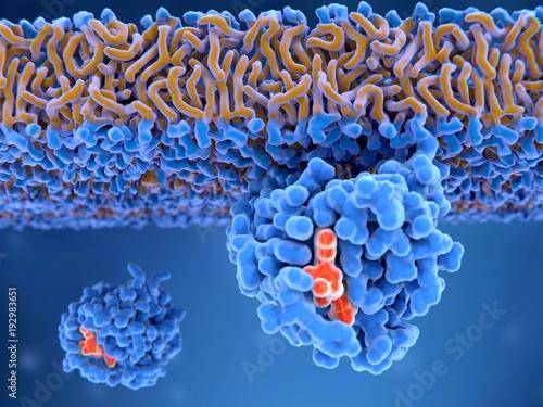 Aktiviertes Ras-Protein, gebunden an die Membran. Sie spielen eine ...