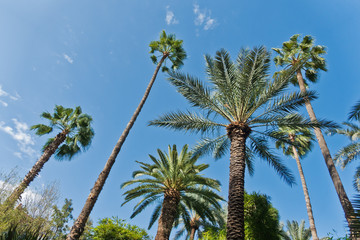 Variety of palms and other trees against blue sky at Majorelle garden in Marrakech, Morocco, Africa