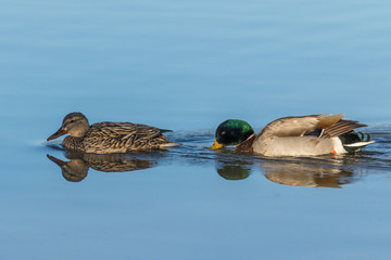Drake and Hen Mallard on Lake