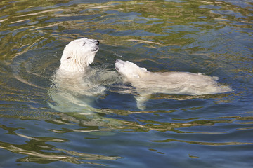 Polar bear playing with his cub on the water