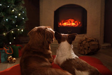 Two dogs by the fireplace. Jack Russell Terrier and Nova Scotia duck tolling Retriever