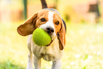 Dog beagle run with a green spiky ball in a garden towards camera