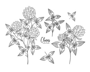Vintage botanical engraving illustration of clover. Beauty and spa, cosmetic ingredient. Design elements for promotion, advertising, greeting cards, wrapping paper, cosmetics packaging, labels, flyer.