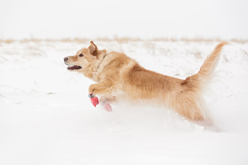 Dog running in winter in boots