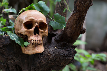 Skull on the old timber and vine of wooden leaf in the wild , Bluured and selective focus.