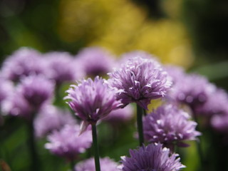 Fiołkowe kwiaty ornamentacyjny czosnek w ranku słońcu.
