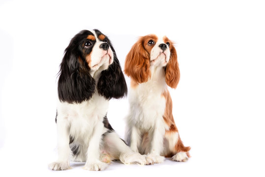 Couple Cavalier King Charles Spaniel against a white backdrop. Blenheim and  color