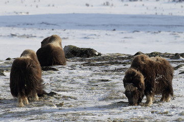 Wild Musk Ox in winter, mountains in Norway, Dovrefjell national park