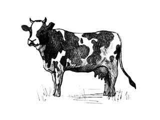 Cow. Line art