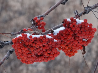 Bunches of red mountain ash