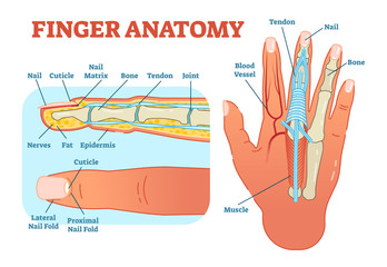 Finger anatomy medical vector illustration with bones, muscle scheme and finger cross section.