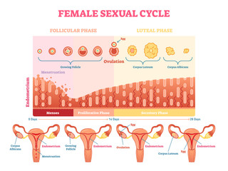 Female sexual cycle vector illustration graphic diagram with menstruation and ovulation chart and uterus.