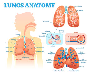 Lungs anatomy medical vector illustration diagram set with lung lobes, bronchi and alveoli. Educational information poster.
