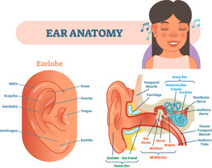 Ear anatomy medical vector illustration with outer, middle and inner ear cross section diagrams.