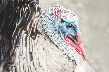 Head of adult Turkey with a beak and eyes.