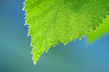 wet green leaf of a birch close up macro