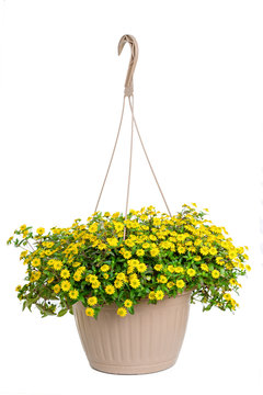 A hanging basket full of creeping yellow zinnia.