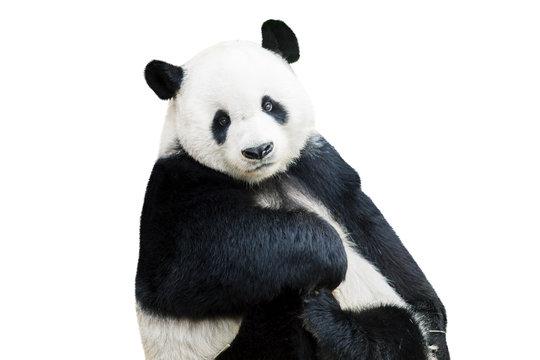 Adorable panda facing camera